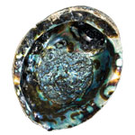 Abalone Shell - Medium (Dark)