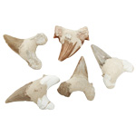 Large Shark Tooth Fossils (5 pcs)