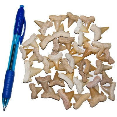 Mineral and Fossil Treasures - Shark Tooth (Size 2) (40 pcs)