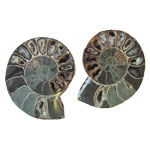 Ammonite Fossils - Matching Pair