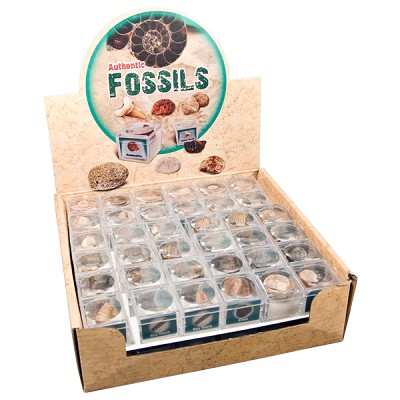 Authentic Fossil Display (72/display)