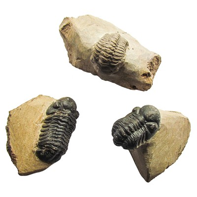 Replica Trilobite Fossil in Matrix - Small